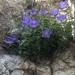 Campanula carpatica - Photo (c) Daphne Liu, todos los derechos reservados