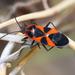 Tropidothorax leucopterus - Photo (c) Ingeborg van Leeuwen, todos los derechos reservados, uploaded by wildchroma