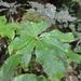 Schefflera digitata - Photo (c) Christopher, todos los derechos reservados, uploaded by Christopher Tracey