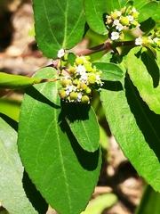 Euphorbia hypericifolia image