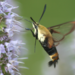 Snowberry Clearwing - Photo (c) Desiree Narango, all rights reserved