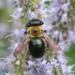Eastern Carpenter Bee - Photo (c) Desiree Narango, all rights reserved