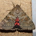 French Red Underwing - Photo (c) naturalist, all rights reserved, uploaded by naturalist