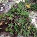 Pleopeltis riograndensis - Photo (c) Jonah Evans, all rights reserved