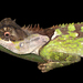 Acanthosaura lepidogaster - Photo (c) gernotkunz, όλα τα δικαιώματα διατηρούνται