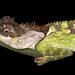 Acanthosaura lepidogaster - Photo (c) gernotkunz, todos los derechos reservados