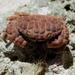 Paractaea monodi - Photo (c) Pedro Modroño, todos los derechos reservados