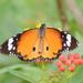 Danaus chrysippus chrysippus - Photo (c) WK Cheng, כל הזכויות שמורות
