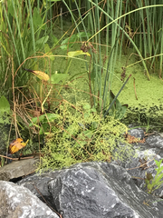 Image of Plantago australis