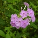 Fall Phlox - Photo (c) fm5050, all rights reserved, uploaded by fm5050
