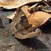 Euthalia aconthea garuda - Photo (c) Leonard Worthington, all rights reserved