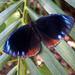 Elymnias hypermnestra meridionalis - Photo (c) Leonard Worthington, todos los derechos reservados
