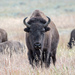 American Bison - Photo (c) Jay Bird, all rights reserved