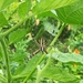Wasp Spider - Photo (c) Elia Dalla Casa, all rights reserved