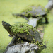 Big Bend Mud Turtle - Photo (c) thesantogrial, all rights reserved
