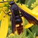 Two-spotted Scoliid Wasp - Photo (c) Cynthia Potter, all rights reserved