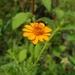 Adenophyllum cancellatum - Photo (c) dgrimmphd, all rights reserved
