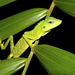 Green Crested Lizard - Photo (c) Joshua Addesi, all rights reserved