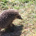 Eastern European Hedgehog - Photo (c) artem, all rights reserved