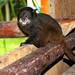 Black-mantled Tamarin - Photo (c) Ronald Bravo, all rights reserved