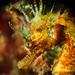 Caballito del Mar Trompudo - Photo (c) seahorses_of_the_world, todos los derechos reservados