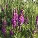 Hedysarum alpinum - Photo (c) Kate Alexander, todos los derechos reservados