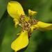 Trimezia martinicensis - Photo (c) Michele Roman, todos los derechos reservados