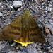 Saltarina Relámpago de Punta Amarilla - Photo (c) Michele Roman, todos los derechos reservados