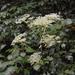 Angelica pubescens - Photo (c) Eli Sooker, todos los derechos reservados