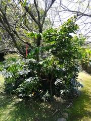 Image of Inga densiflora