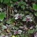 Tradescantia zebrina - Photo (c) Michele Roman, all rights reserved