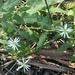 Olearia nernstii - Photo (c) n8tureg1rl, todos los derechos reservados