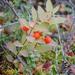 Geocaulon lividum - Photo (c) Brittany Swett, όλα τα δικαιώματα διατηρούνται