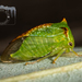 Stictocephala palmeri - Photo (c) Danilo Hegg, all rights reserved