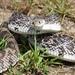 Florida Pine Snake - Photo (c) Luke Berg, all rights reserved