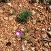 Calandrinia remota - Photo (c) lindseyg, todos los derechos reservados