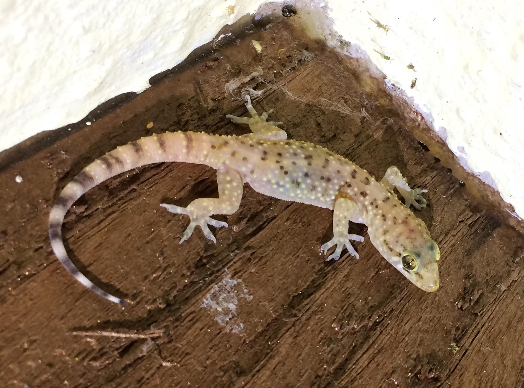 Mediterranean House Gecko Hemidactylus Turcicus Inaturalist Org