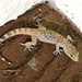 Mediterranean House Gecko - Photo (c) Gerry Salmon, all rights reserved