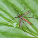 European Crane Fly - Photo (c) Tina Ellegaard Poulsen, some rights reserved (CC BY)