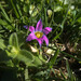 Rosy Sandcrocus - Photo (c) Chris Whitehouse, all rights reserved