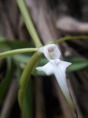 Epidendrum lacustre image
