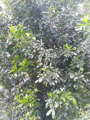Trichilia havanensis image