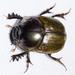 Digitonthophagus gazella - Photo (c) BJ Stacey, כל הזכויות שמורות