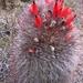 Denmoza rhodacantha - Photo (c) Santiago Santoandré, todos os direitos reservados