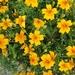Flores de Muerto Y Clavelones - Photo (c) Simon Nyholt Petersen, todos los derechos reservados