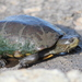 Sonoran Mud Turtle - Photo (c) Michael Price, all rights reserved