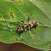 Sphecotypus niger - Photo (c) Peter Marting, todos os direitos reservados