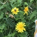 Autumn Hawkbit - Photo (c) christinafromsweden, all rights reserved