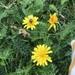 Scorzoneroides autumnalis - Photo (c) christinafromsweden, כל הזכויות שמורות