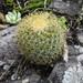 Mammillaria pringlei - Photo (c) manuelbasurto, all rights reserved